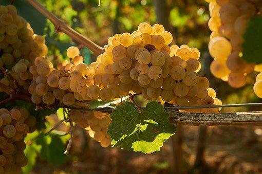 Wine, Grapes, Vine, Winegrowing, Grapevine, Ripe