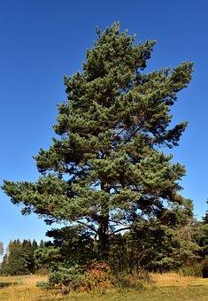Pine, Tree, Conifer, Green, Free Standing, Towering