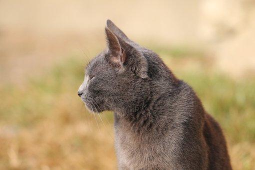 Cat, Profile, Grey, Animal, Pet, Cute, Domestic, Nature