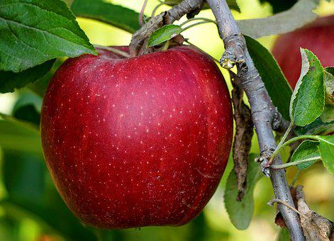 Apple, Red, Ripe, Harvest, Fruit, Healthy, Fresh