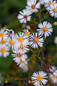 Chamomile, Flower, White Flower, Flowers, Nature, Herbs