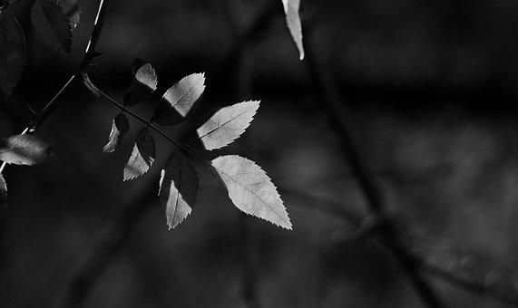 Shadow, Black White, Leaves, Season, Leaf, Nature