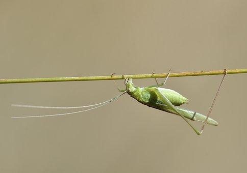 Macro, çekirge, Doğa, Nature, Grasshopper