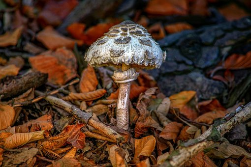 Parasol, Giant Screen Fungus, Plant, Nature, Mushroom