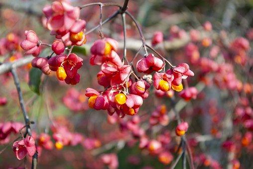 Priest Cape Perl, Plant, Autumn, Nature, Blossom, Bloom