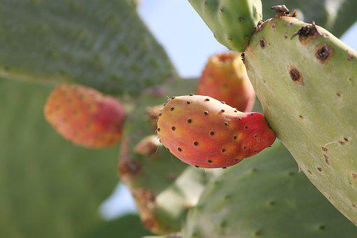 Prickly Pear, Opuntia, Cactus, Fruits
