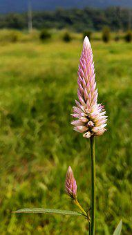 Feather Cockscomb, Celosia Argentea, Pheasant Crown