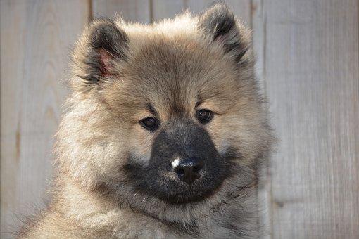 Dog, Dog Eurasier, Pup, Dog Olaf-blue, Puppy