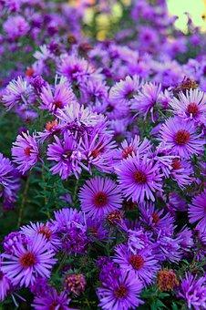 Purple, Purple Flower, Autumn, Autumn Flowering