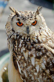 Animal, Owl, Pen, Plumage, Bird, Head, Nocturne, Raptor