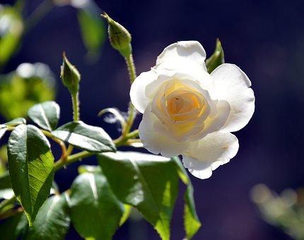 Rose, Blossom, Bloom, Rose Bloom, Bloom, Flower, Plant