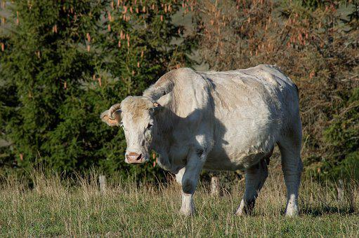 Cow, Pasture, Livestock, Breeding, Ruminant