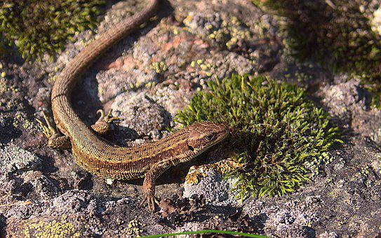 Lizard, Reptile, Stone, Wall, Sweden, Animal, Nature