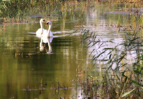 Swans, Swim, Water, Water Bird, Waters, Lake, Bird