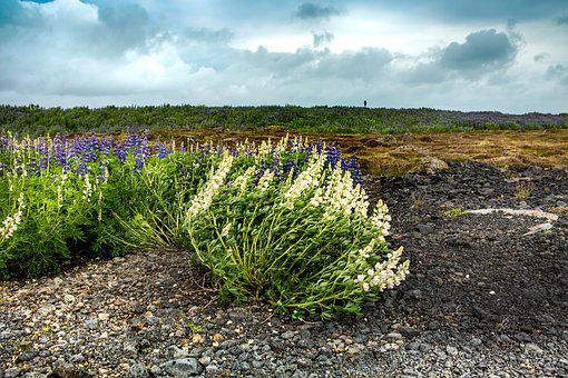 Clouds, Wind, Field, Iceland, Flowers, Moss, Landscape