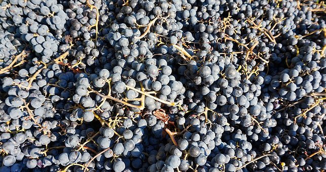 Grapes, Harvest, Read, Winegrowing