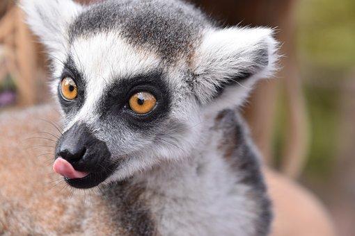 Lemur, Maki Catta, Language, Eyes, Madagascar, Zoo