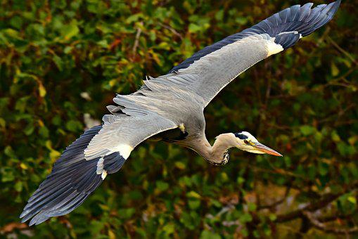 Heron, Wading Bird, Animal, Predator, Bird Of Prey
