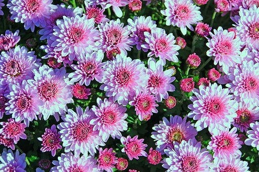 Autumn, Fall Flowers, Purple, Pink