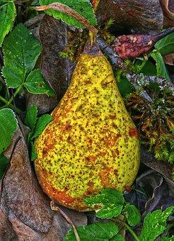 Pear, Windfall, Fruit, Orchard, Fruits, Autumn