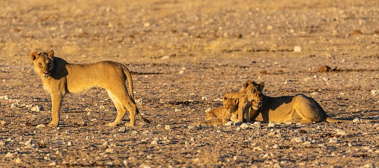 Lion, Baby, Family, Young, Mane, Big Cat, Predator