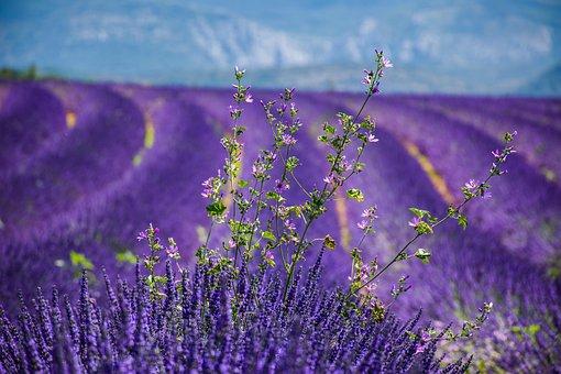 Beautiful Landscape, Lavender Field, Flowers, Purple