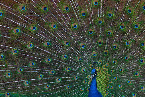 Peacock, Bird, Wheel, Peacock Feathers, Gorgeous