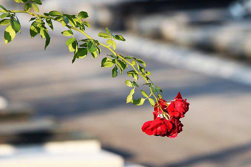 Red Roses, Branch, Plant, Leaves, Autumn