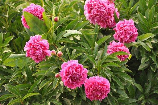 Peonies, Peony, Bush, Pink, Bloom, Flower