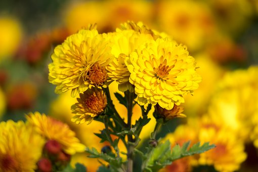 Winter Aster, Garden Chrysanthemum, Chrysanthemum