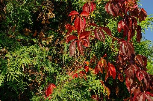Vines, Foliage, Autumn Weather, Color