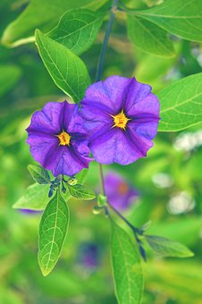 Solanum Rantonnetii, Flower, Plant, Purple, Color