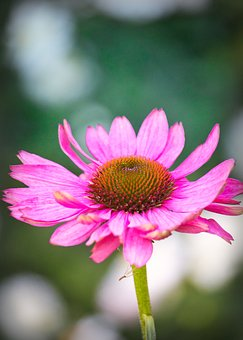 Coneflower, Beauty, Pink, Blossom, Bloom, Nature