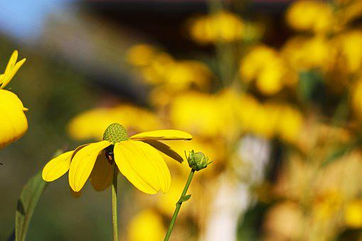 Coneflower, Shrub Summer, Yellow Flower, Summer