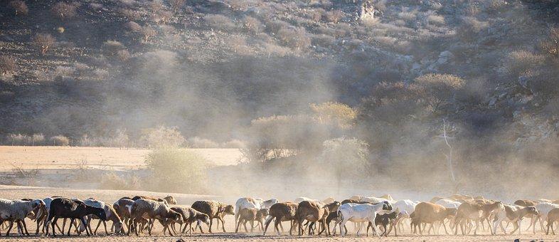 Flock Of Sheep, Sheep, Wool, Flock, Desert, Dust
