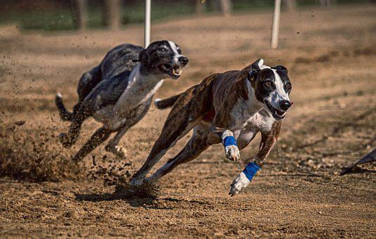 Dog, Dog Racing, Greyhounds, Race, Sport, Hundesport
