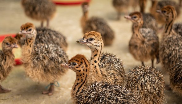 Street Chicks, Young Animals, Enclosure, Spout