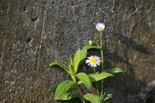 Erigeron Annuus, Meadow Flower, Blooming, Flora