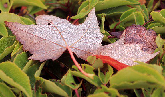 Autumn, Fall, Color, Leaves, Dew, Drops