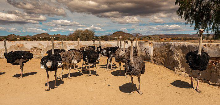 Ostriches, Ostrich Farm, South Africa, Ratites, Farm