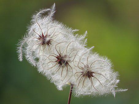 Fluffy, Seeds, Clematis, Feather, Slightly, Filigree