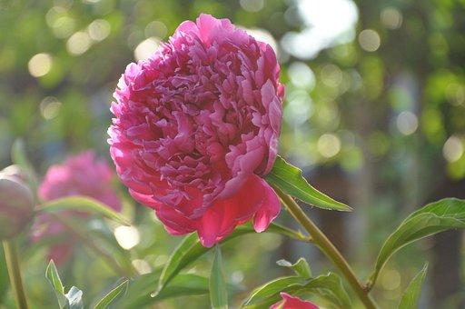 Peony, Flower, Flowers, Bloom, Pink, Flora, Nature