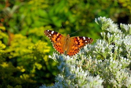 Butterfly On Flowers, Plant, Flowering