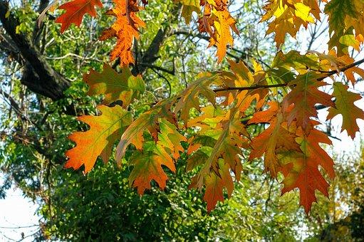 Autumn Weather, Oak, Colors, Foliage