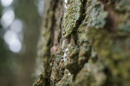 Resin, Bark, Wood, Natural, Forest, Tree Trunk, Spring