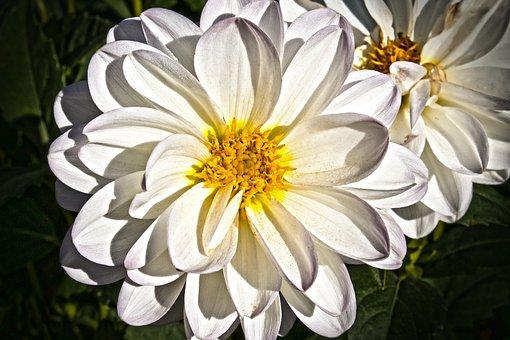 Dahlia, Georgine, Plant, Composites, White, Yellow