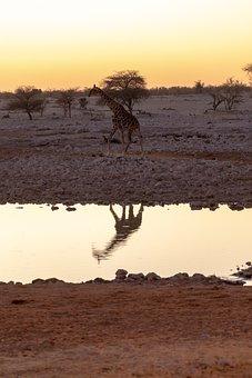 Giraffe, Water Hole, Evening, Sunset, Mirroring, Africa