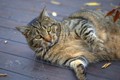 Cat, Playful, Gray, Stripes, Lazy, Fatty