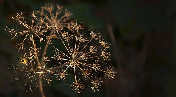 Doldengewaechs, Dry, Infructescence, Herb, Star