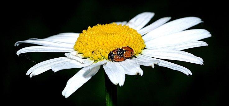 Ladybug, Marguerite, Beetle, Macro, Insect, Flower